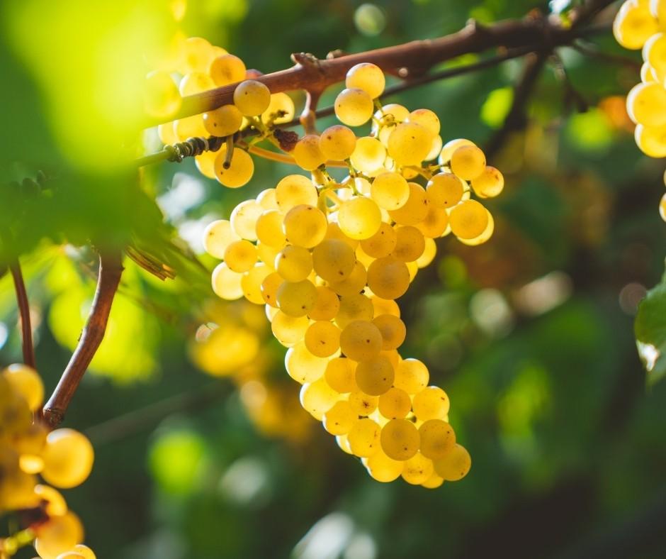 Chardonnay Grožđe