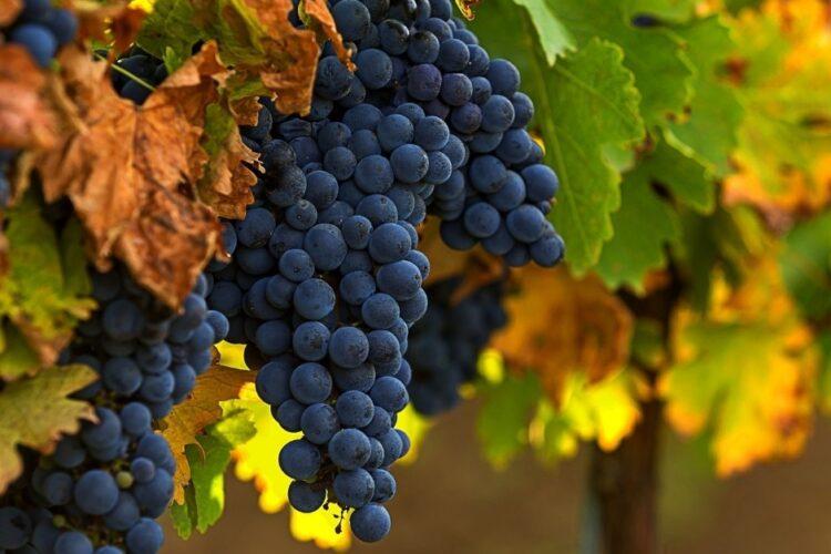Merlot grožđe