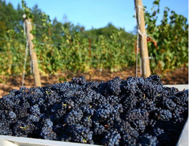 Pinot Noir Berba