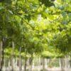 vinova loza u vinogradu